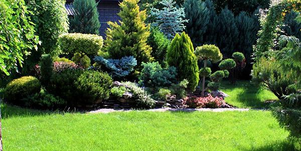 Хвойные растения для сада - У забора