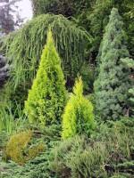 Озеленение участка хвойными деревьями